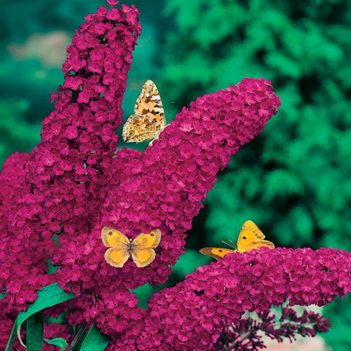 Буддлея давида цветы